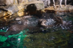 Middle of an otter fight