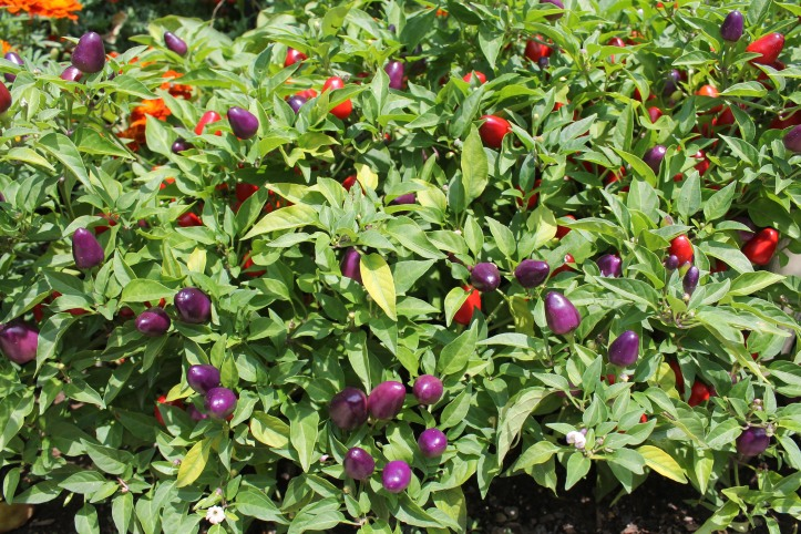purple and red capsicums