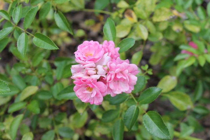 mini tea roses